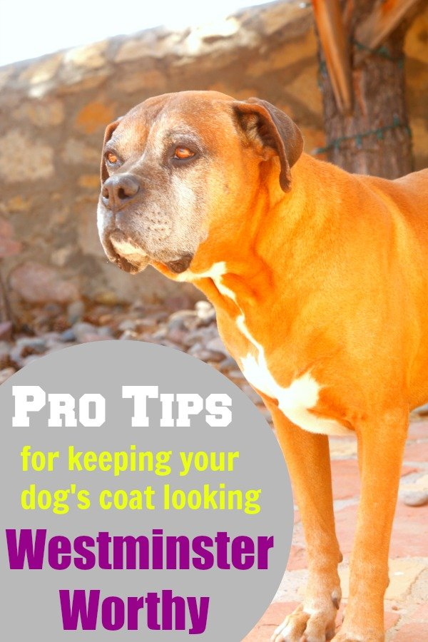 Pro Tips for Keeping your Dog's Coat Looking Westminster Worthy #TheDogumentaries [ad]